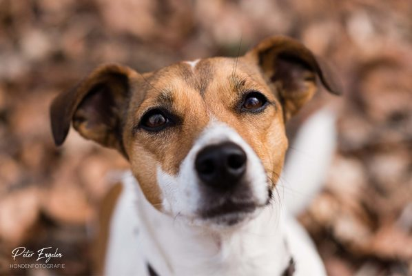 Filou - Jack Russell